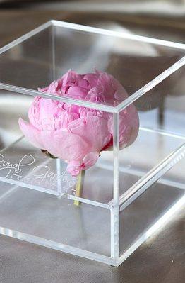 Nježnorozi božur u modernoj prozirnoj kutiji - 1 cvijet